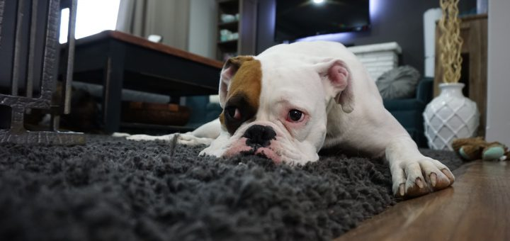 lazy-dog-learner-english